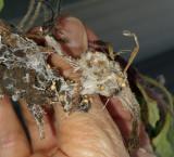 Chrysogonum Virginianum Root Rot