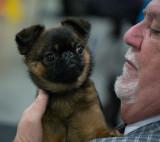 P1090610 Brussels Griffon Puppy
