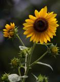 IMG_0775 Sunflowers