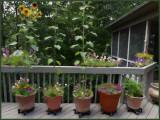 Deck Plantings