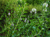 Obedient Plant (physostegia virginianum) and cleome naturalized