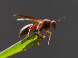 IMG_1071 Adventurous paper wasp on orchid leaf