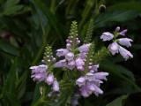 P8060010 Gorgeous Obedient Plant Blossoms