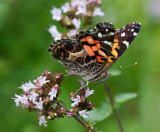 Painted Lady Butterfly on Oregano