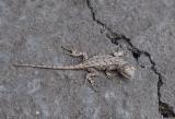 P8120018 Baby Fence Lizard