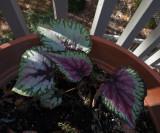 P1130817 Rex Begonia