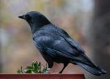 _MG_8570 The crows really like my homemade suet mix