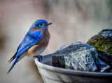 IMG_2291 male bluebird on water tray