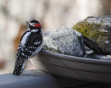 P1110588 Male Downy Woodpecker