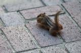 P1110597 chipmunk in a hurry