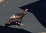 PB260025 Strutting turkey