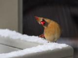 IMG_2760 Have you ever seen a cuter cardinal?