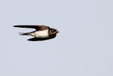 Boerenzwaluw / Barn Swallow, Waddinxveen, juli 2014