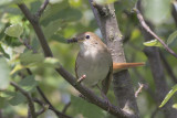 Nachtegaal, Common Nightingale, mei 2014