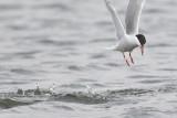 Visdief / Common Tern, augustus 2014