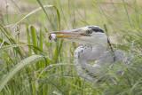 Blauwe Reiger / Grey Heron, juni 2014