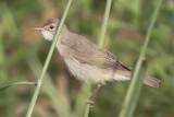 Bosrietzanger / Marsh Warbler, juni 2014