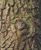Dwerguil / Pygmy Owl, januari 2014