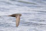 Gierzwaluw / Common Swift, augustus 2014