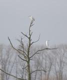 Grote Zilverreigers nabij slaapplaats / Great Egrets at roosting place, februari 2014