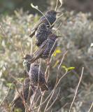 Spreeuwen / Common Starling, oktober 2013