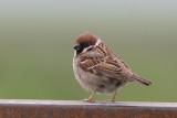 Ringmus / Tree Sparrow, mei 2012