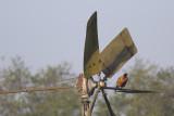 Fazant / Pheasant on wind mill, maart 2014