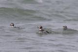 IJseenden / Long-tailed Ducks, februari 2014