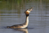 Fuut / Great Crested Grebe, april 2014