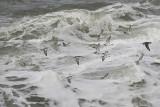 Zeetrek langs Westkapelle / sea bird migration along Westkapelle - October 2014