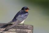 Boerenzwaluw / Barn Swallow, mei 2012
