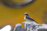 Tapuit / Northern Wheatear, april 2014