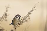 Ringmus / Tree Sparrow