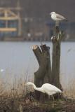 Pontische Meeuw / Caspian Gull, met Grote Zilverreiger / with Great Egret