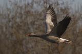 Grauwe Gans / Grey-lag Goose
