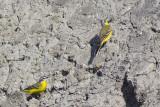 Gele Kwikstaarten / Yellow Wagtails