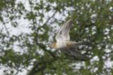 Koekoek / Common Cuckoo