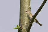 Tuinfluiter / Garden Warbler