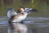 Fuut / Great Crested Grebe