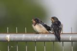Boerenzwaluwen / Barn Swallows