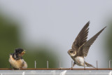 Boerenzwaluw met Oeverzwaluw / Barn Swallow with Sand Martin
