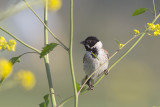 Rietgors / Reed Bunting