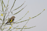 Putter / European Goldfinch