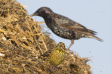 Geelgors met Spreeuw / Yellowhammer with Starling
