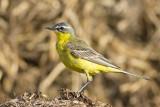Gele Kwikstaart / Yellow Wagtail