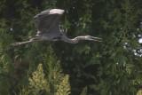 Great Blue Heron / Amerikaanse Blauwe Reiger