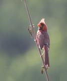 Northern Cardinal / Rode Kardinaal