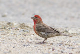 House Finch / Mexicaanse Roodmus