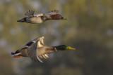 Tafeleend met Wilde Eend / Common Pochard with Mallard