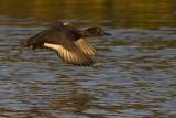 Kuifeend / Tufted Duck